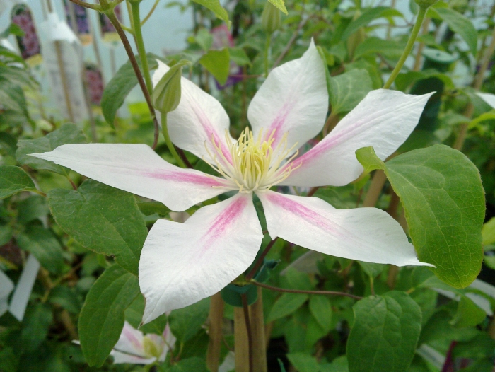 Clematis Andromeda lovely stripe