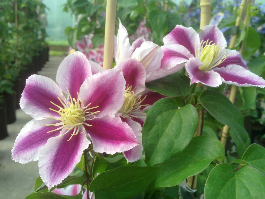 Clematis Angela group shot