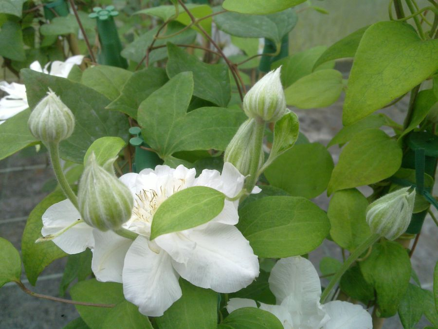 Clematis Arctic Queen fresh fat buds