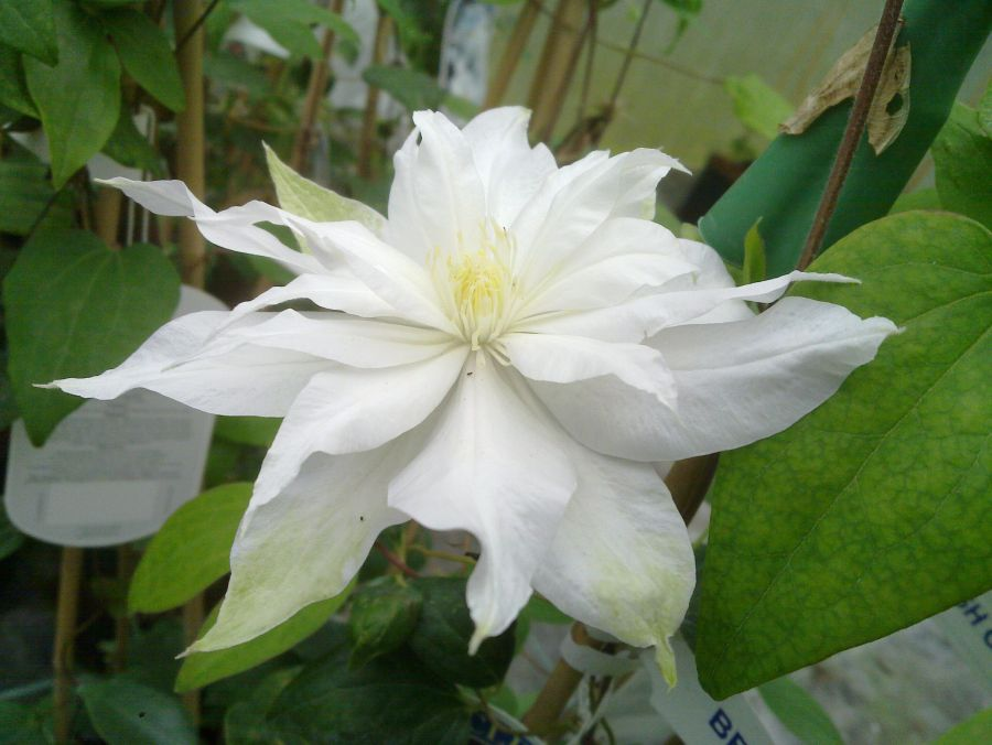 Clematis Arctic Queen close up just opening