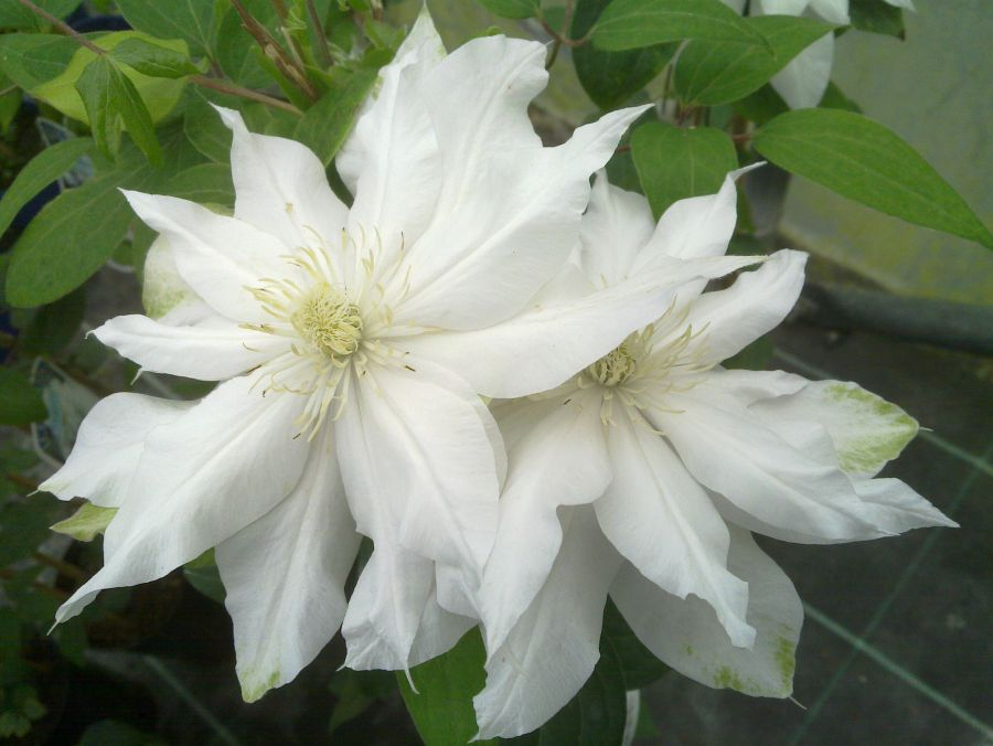 Clematis Arctic Queen just opening pair