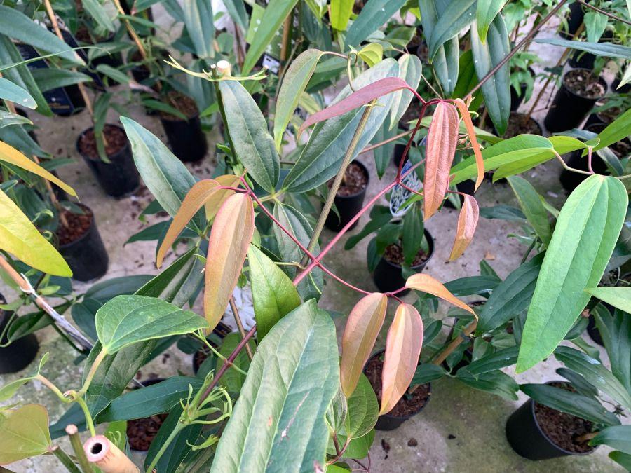 Clematis armandii new folaige starts off bronze colour