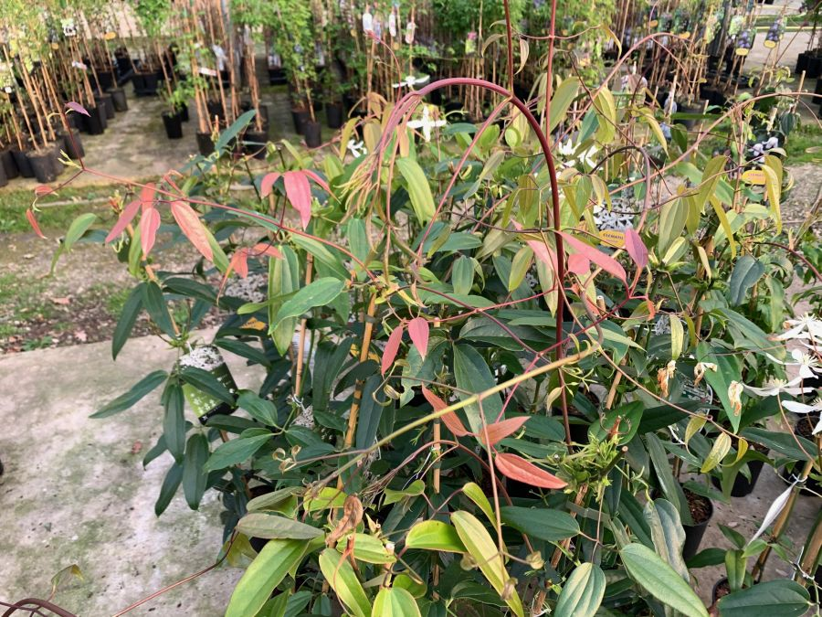 Clematis armandii new folaige starts off bronze colour