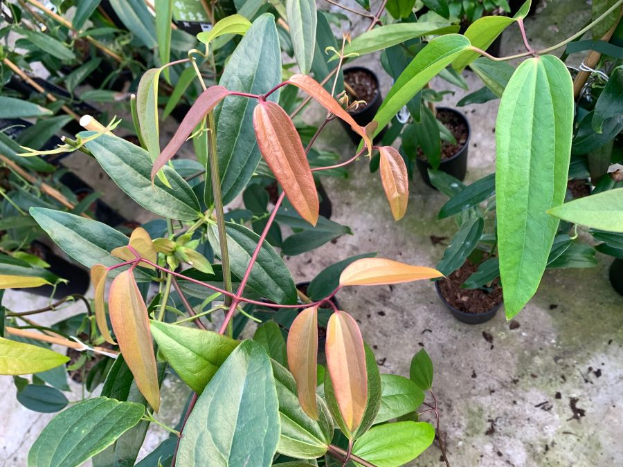 Clematis armandii new folaige starts off bronze colour when it emerges in spring