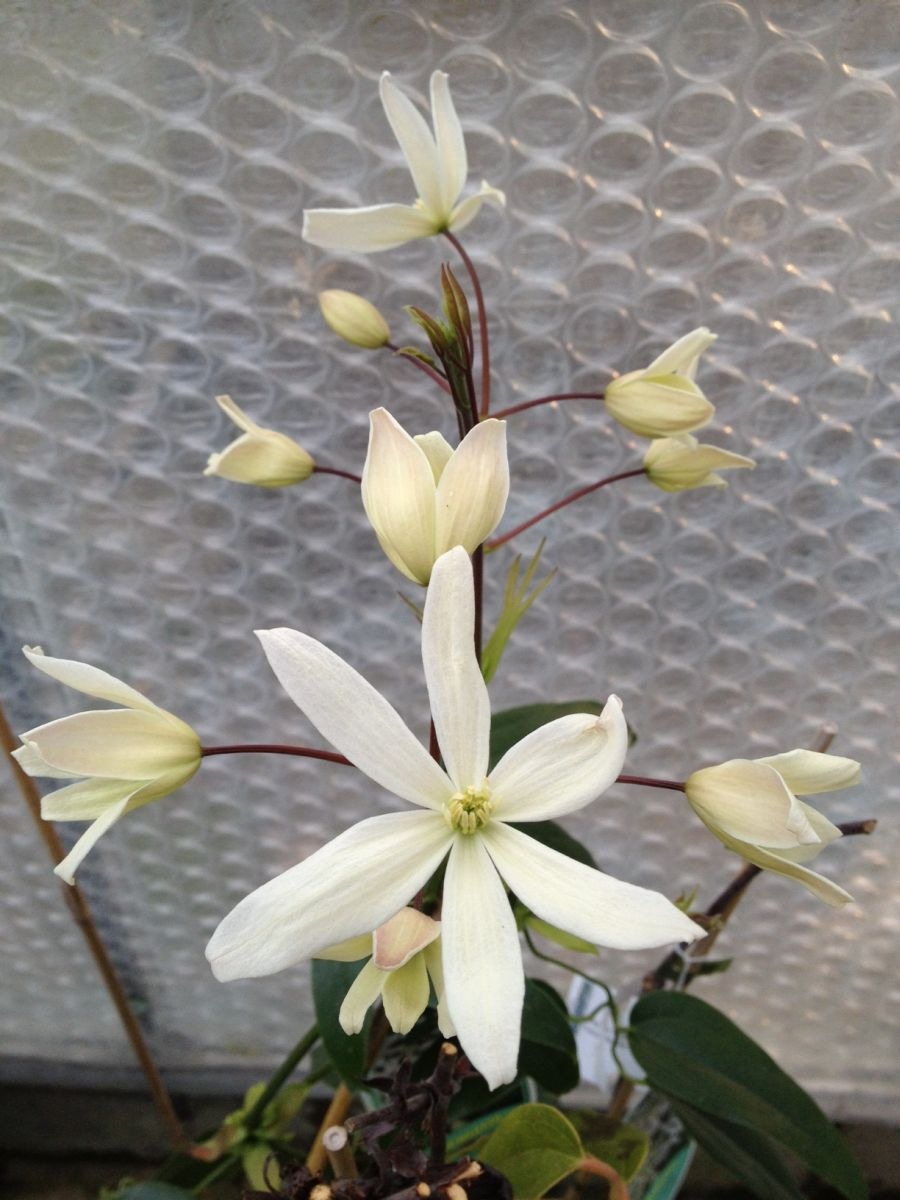 Clematis armandii Snowdrift buds just opening