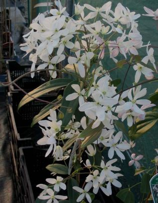 clematis armandii great for coverage ' fast '