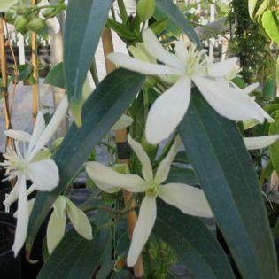 Clematis armandii Snowdrift has almond perfume