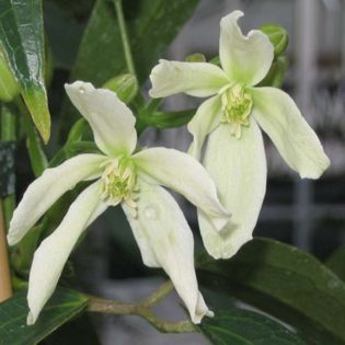 Clematis armandii Snowdrift produces masses of flower and leaf