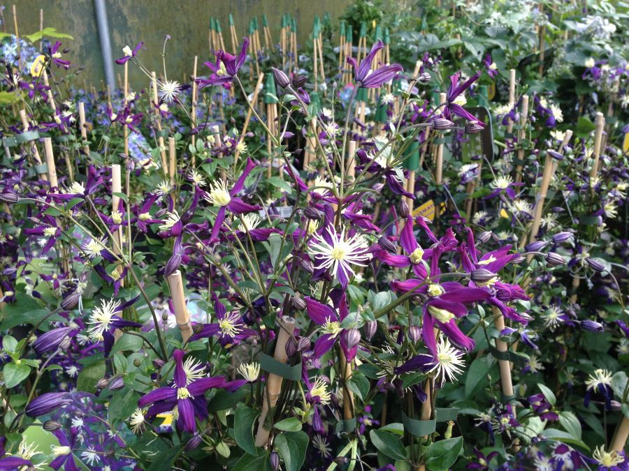clematis x aromatica sales plants in the tunnels