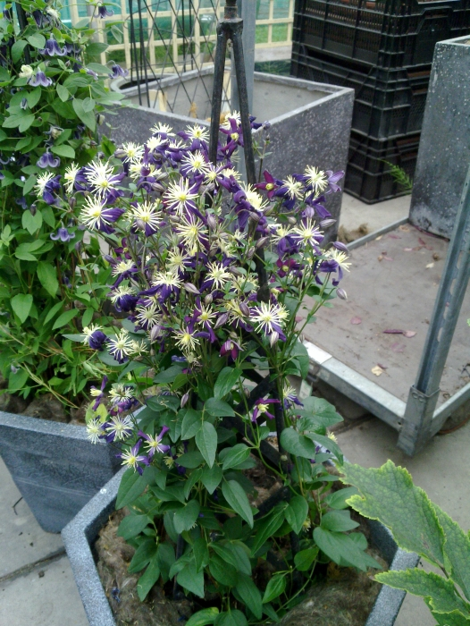 clematis x aromatica growing in a pot