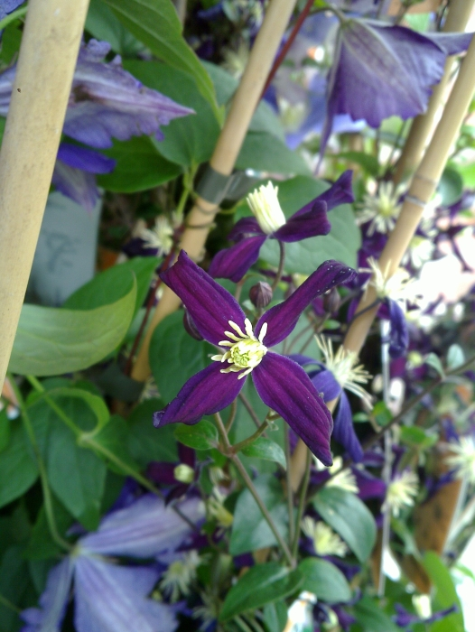 clematis x aromatica up close