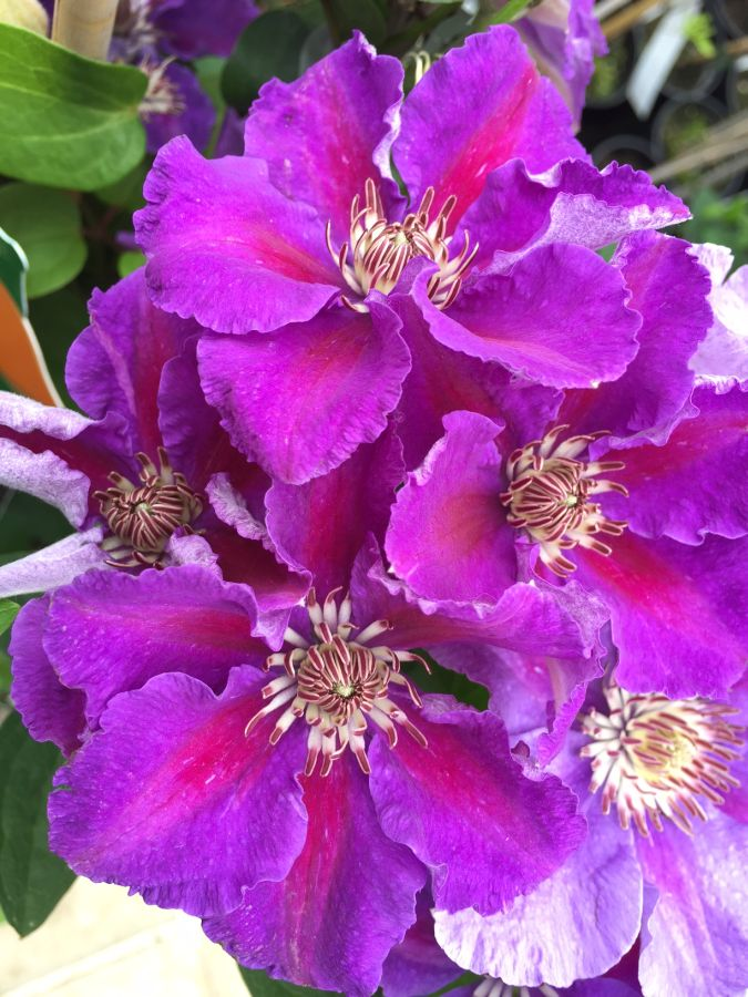 Clematis Ashva group shot