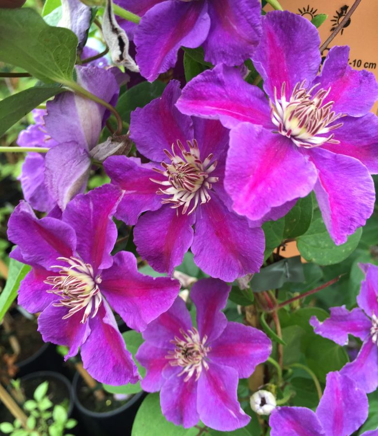 Clematis Ashva great colours