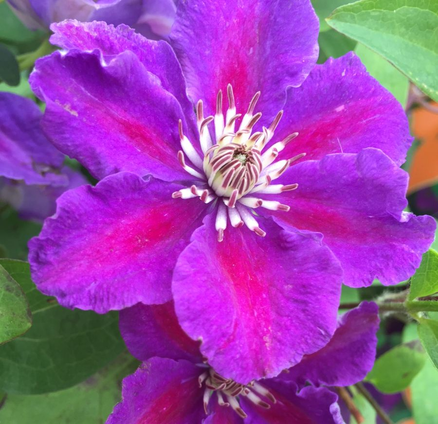Clematis Ashva close up