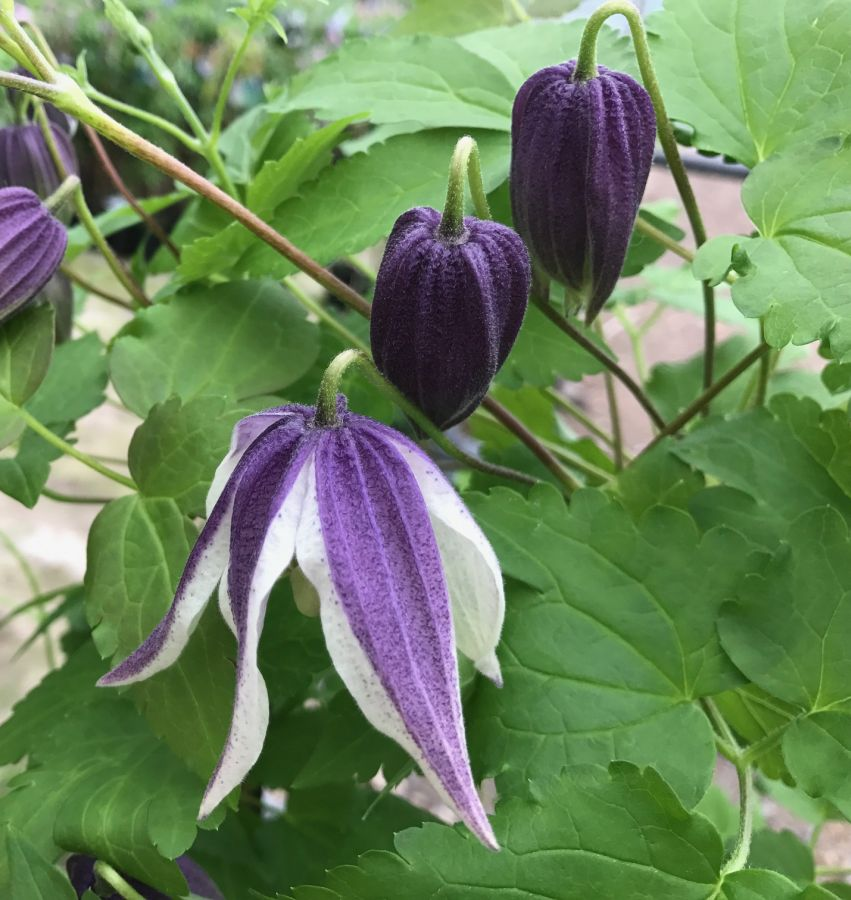 Clematis koreana blue eclipse great colour