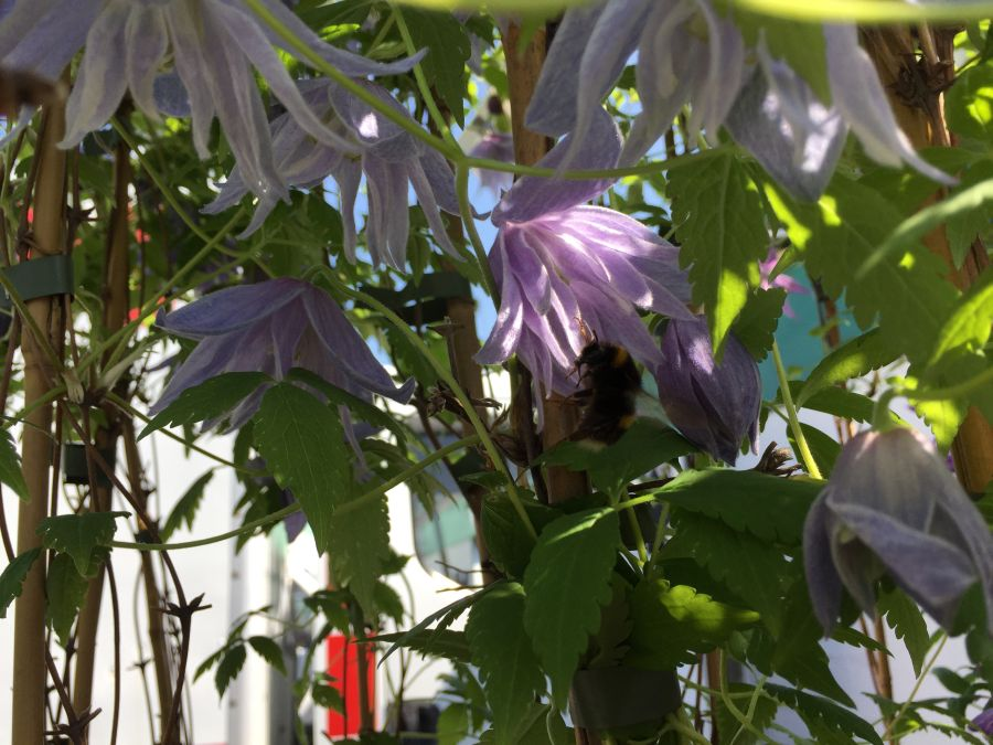 bees in clematis 10