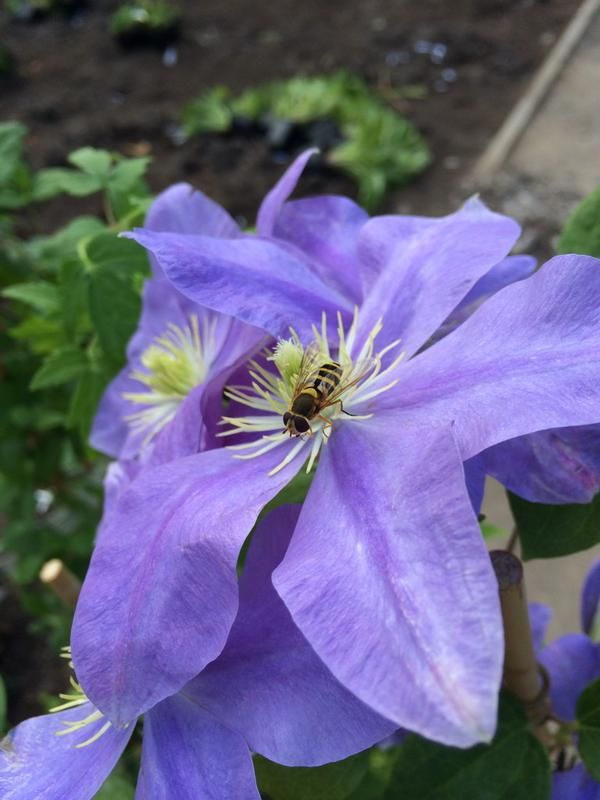 bees in clematis 6