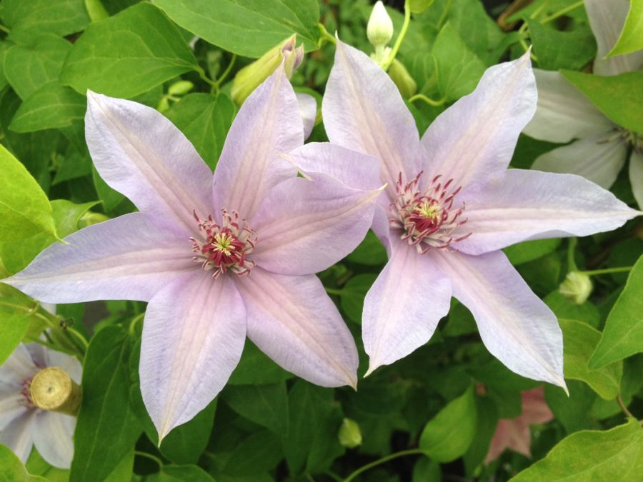 Clematis Bernadine new for 2014 new pic
