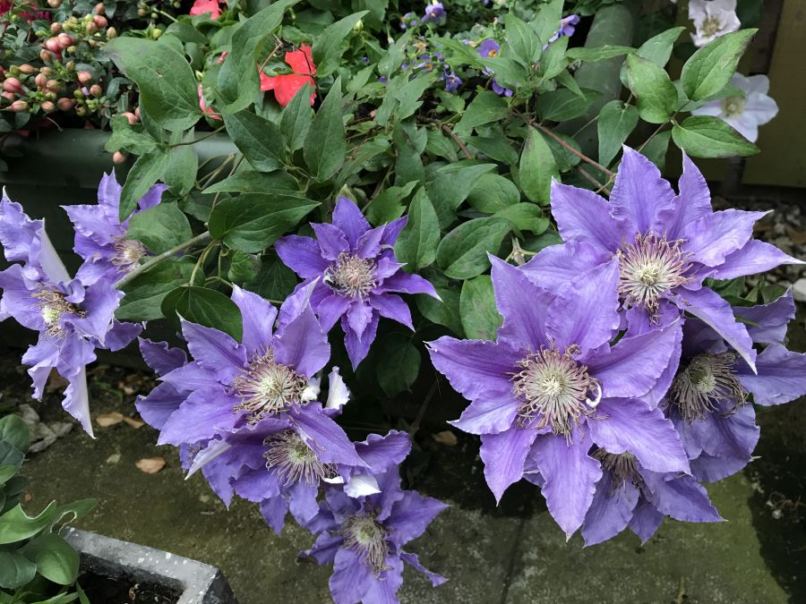 Clematis bijou in our planter