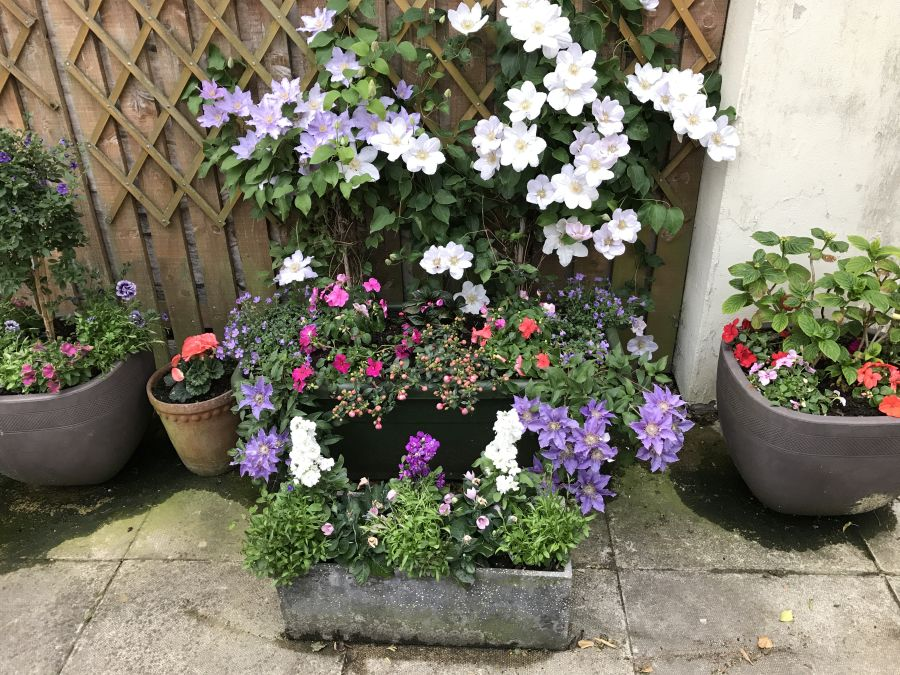 Clematis bijou in our planter both sides