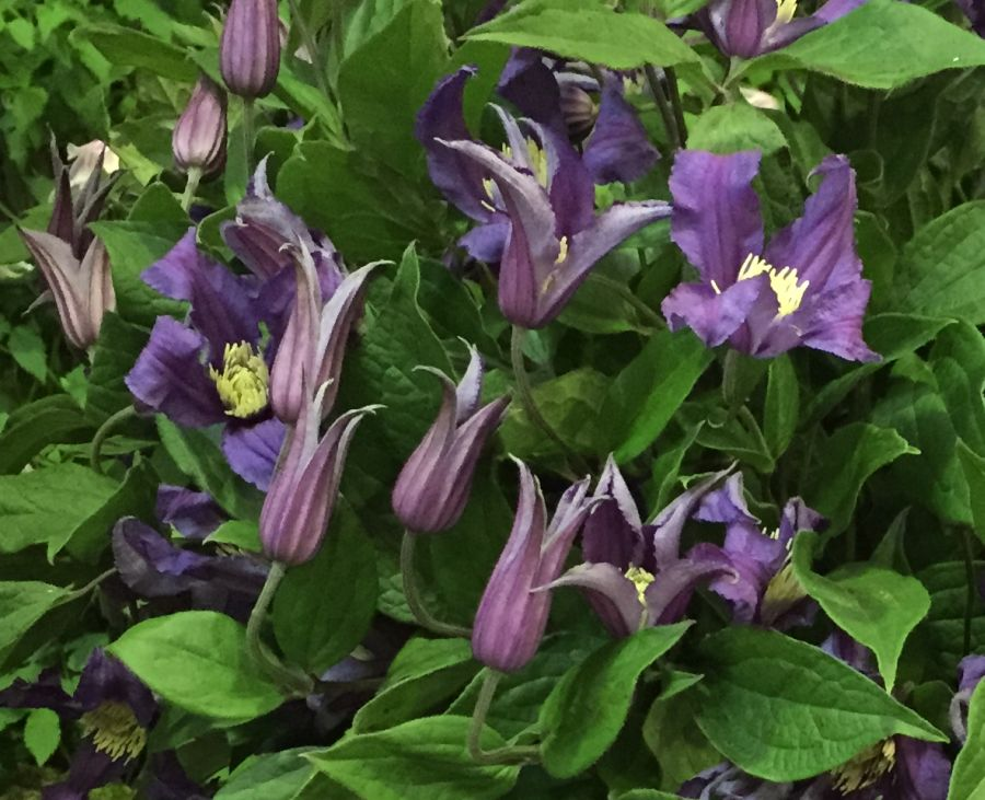 Clematis Blue Pirouette, New to our nursery 2015,