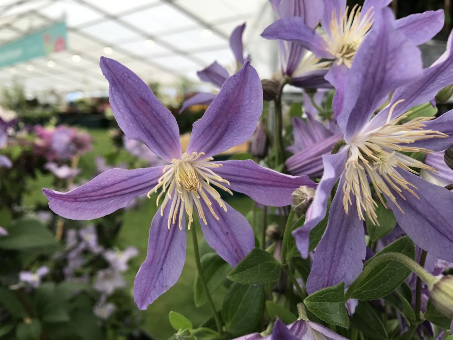 Clematis Blue River close up