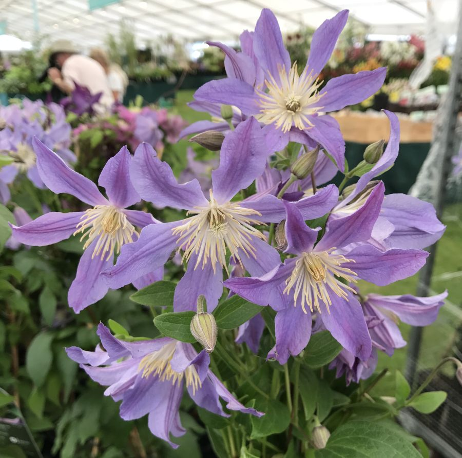 Clematis Blue River nice bunch