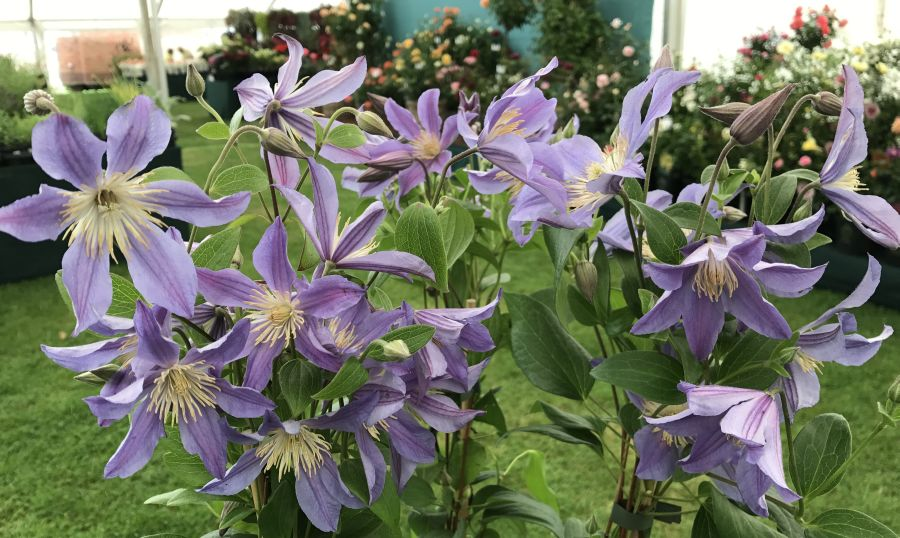 Clematis Blue River at tatton park