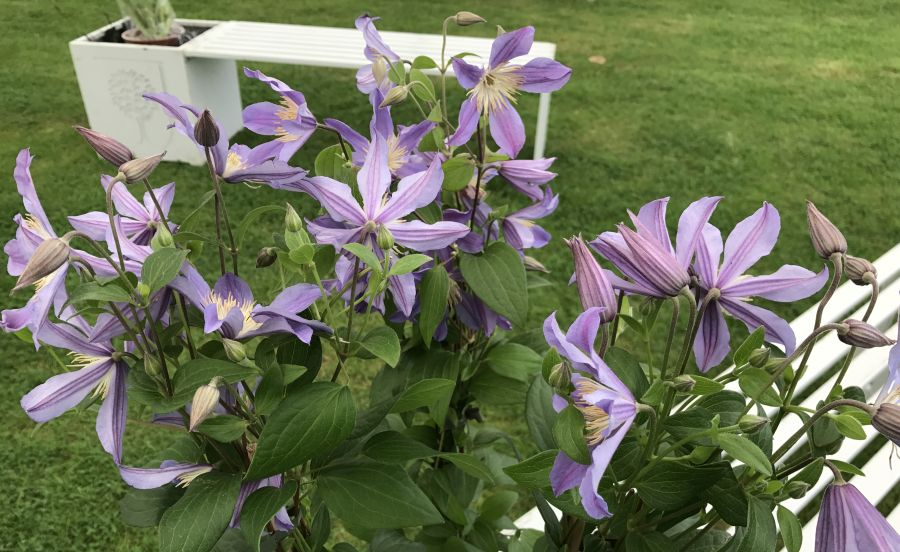 Clematis Blue River next to the seating area