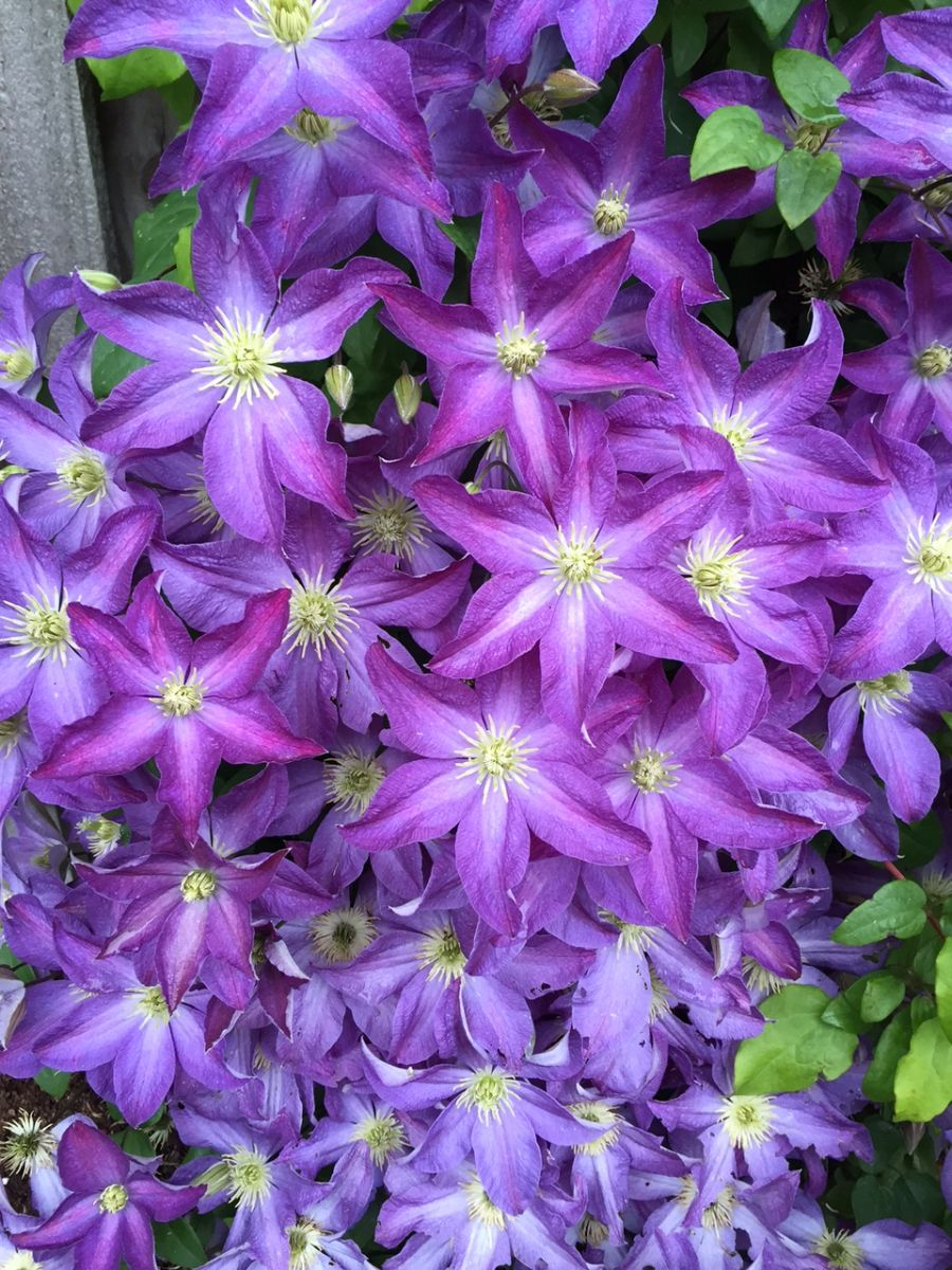 Clematis Bonanza centre of our plant