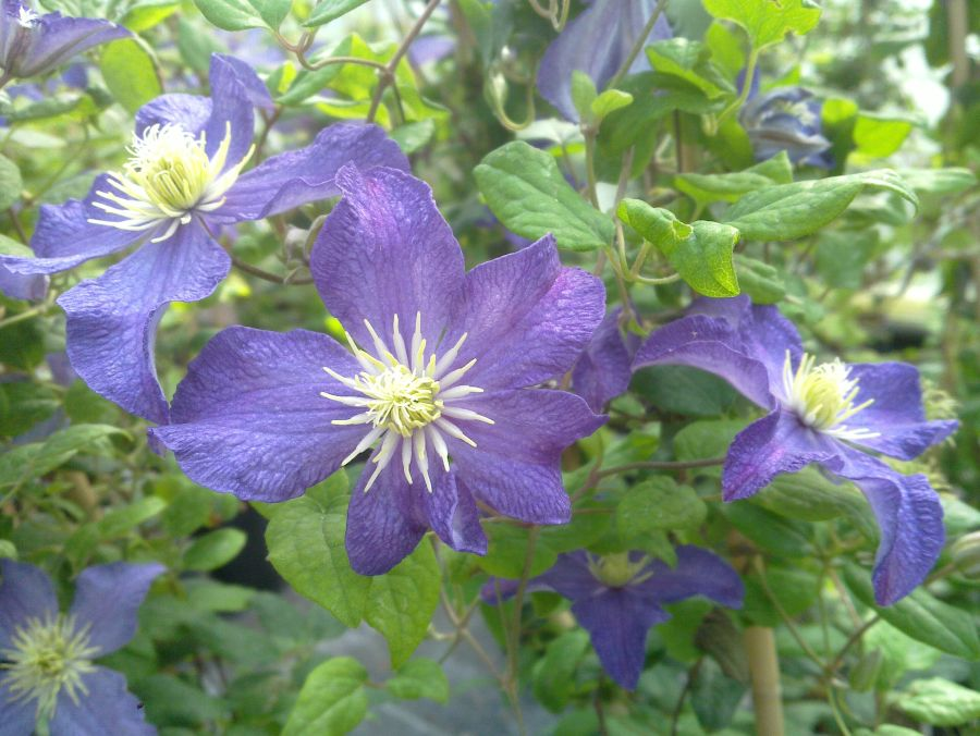 Clematis Bonanza group shot