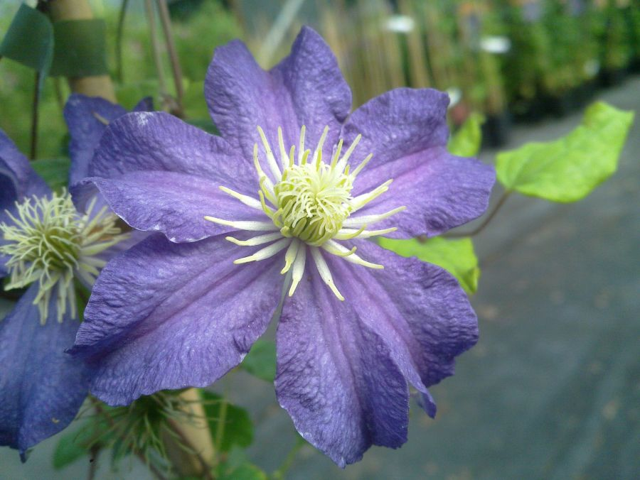 Clematis Bonanza good medium sized flower