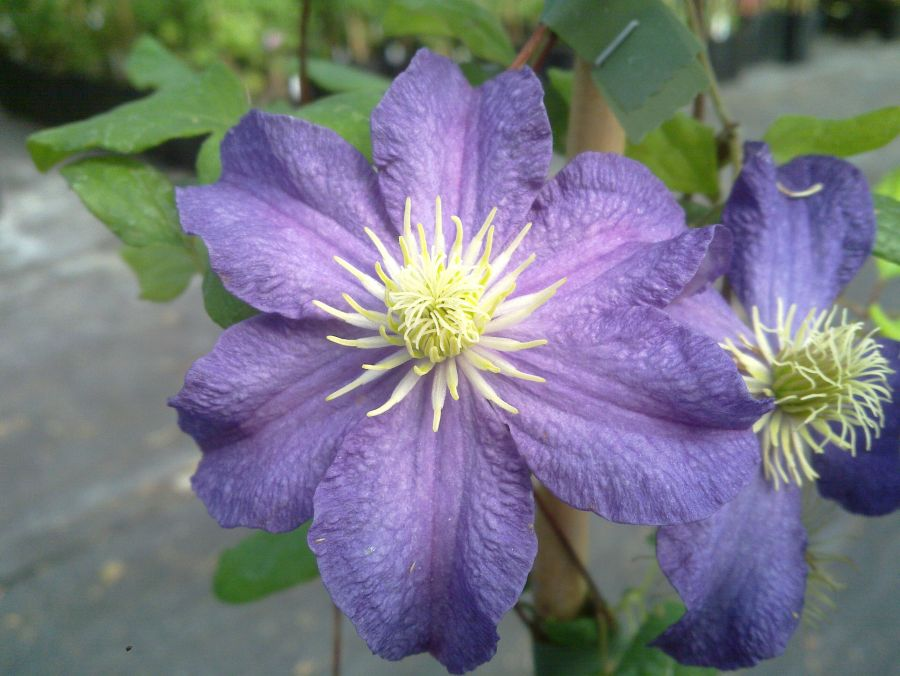 Clematis Bonanza close up