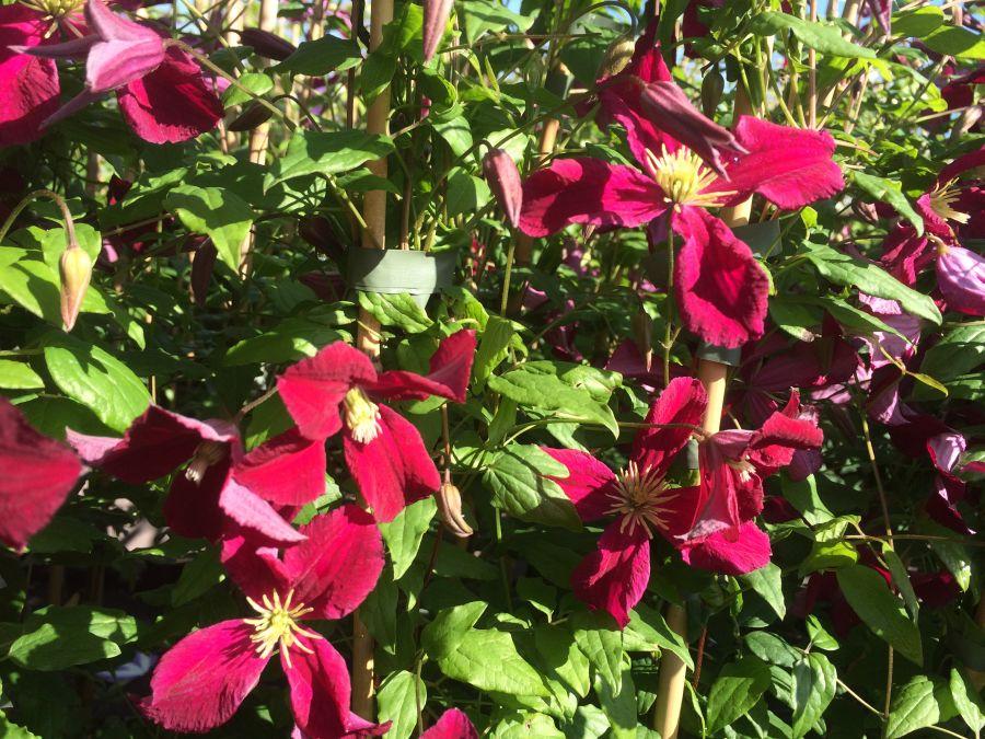 vitiwester burning love masses of flower