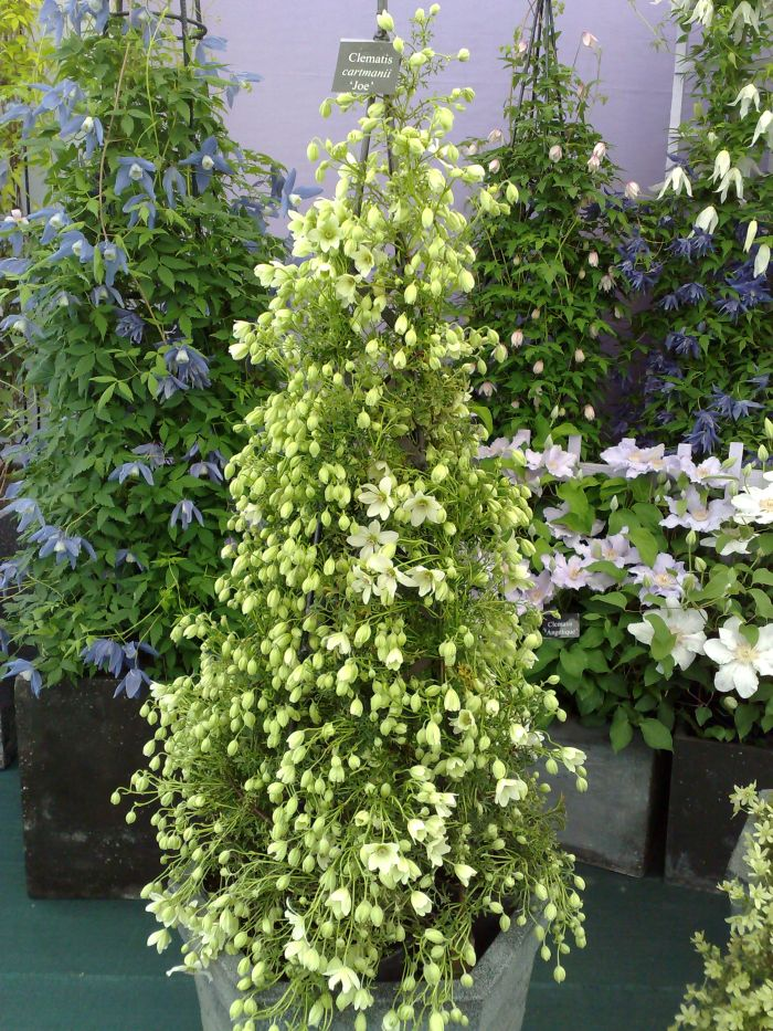 Clematis cartmanii Joe