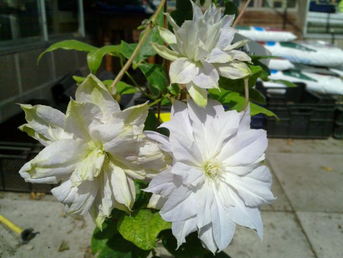 Clematis Chalcedony group shot