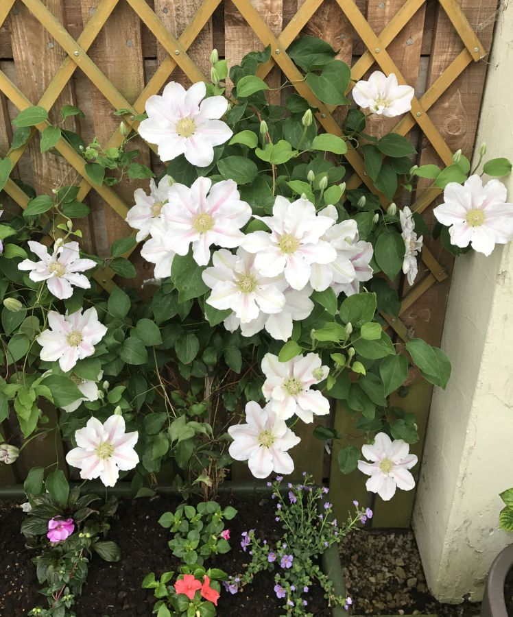 Clematis Chantilly in full flower here in our garden