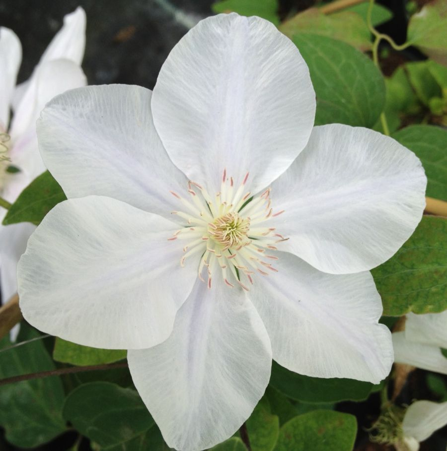 Clematis Chantilly fully open faded to white