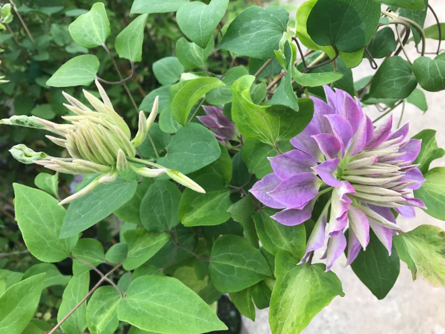 Clematis Princess Charlotte unusual buds