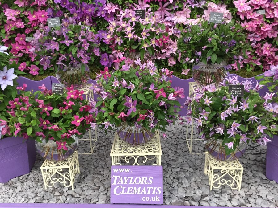 Clematis as cut flower at chelsea 2015 Gold Medal
