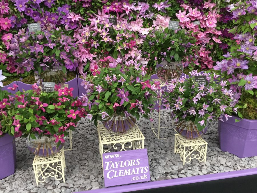 Clematis Inspiration cut flower on display at chelsea 2015