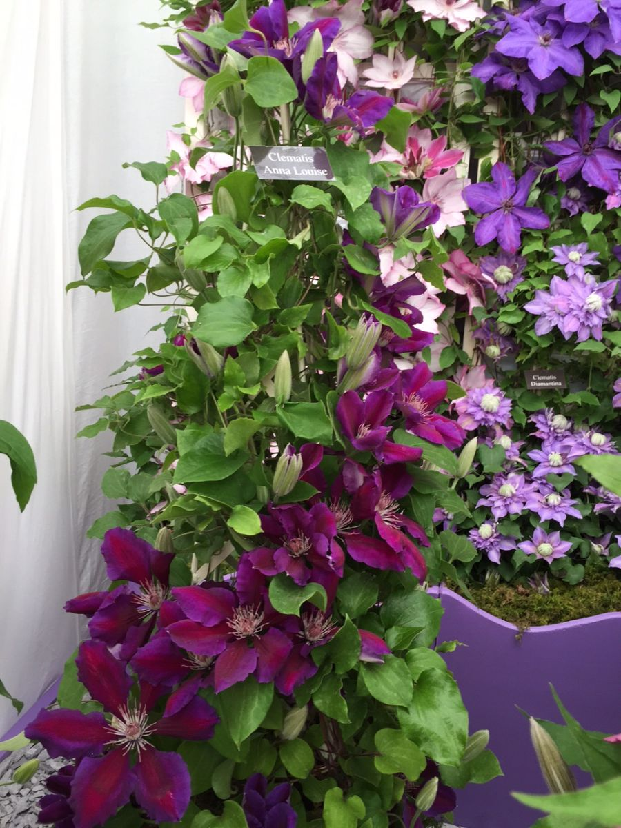 Clematis Anna Louise