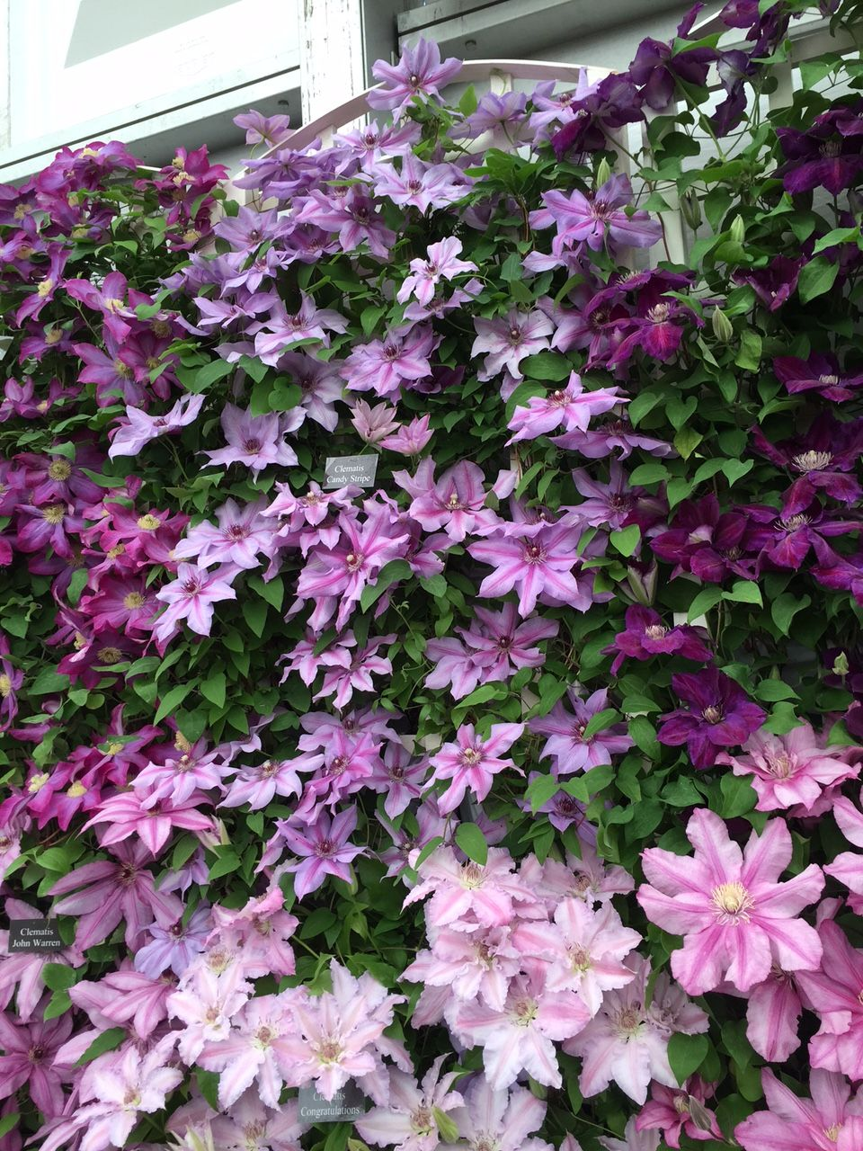 Clematis Candy Stripe