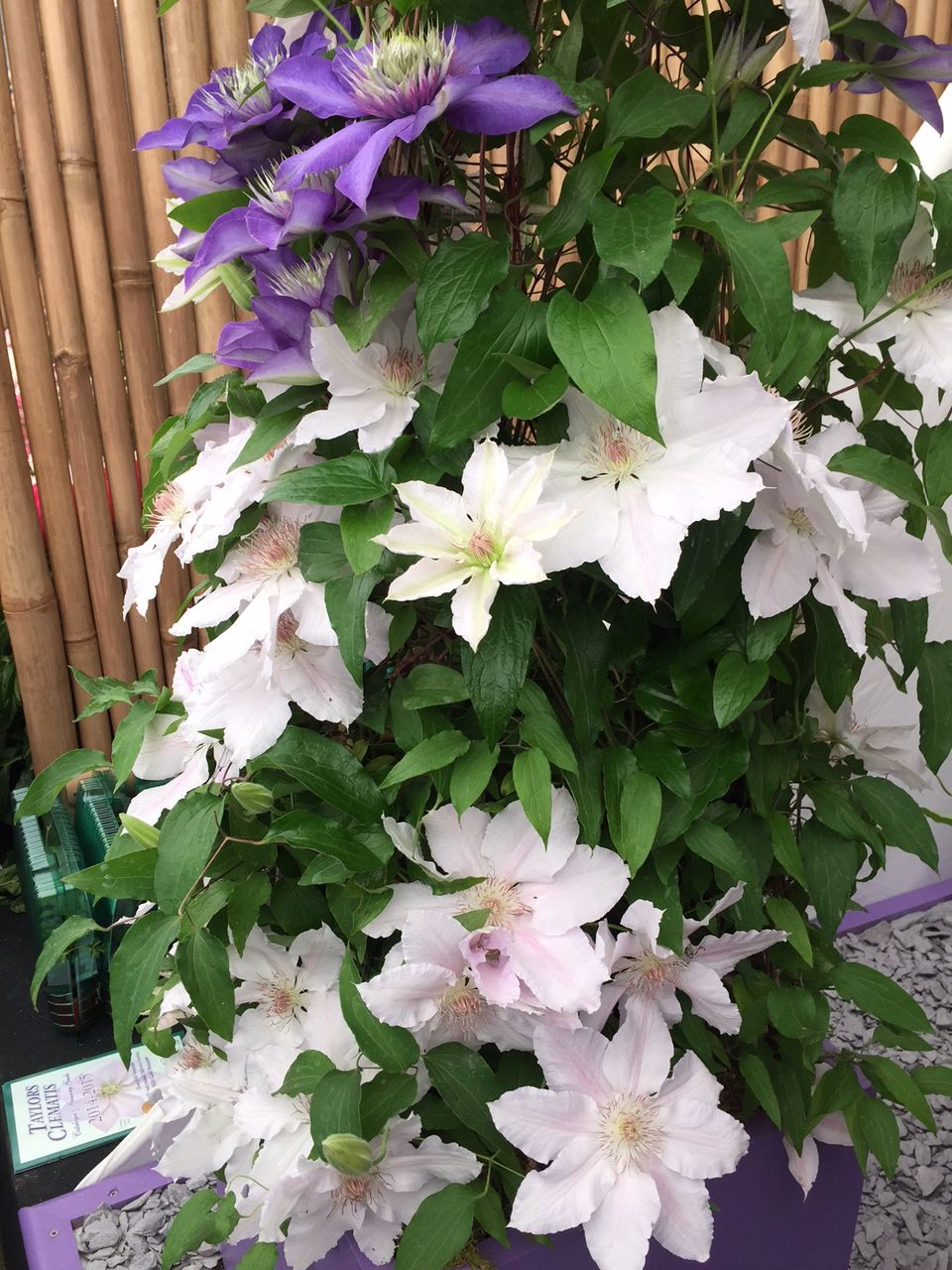 Clematis Hyde Hall
