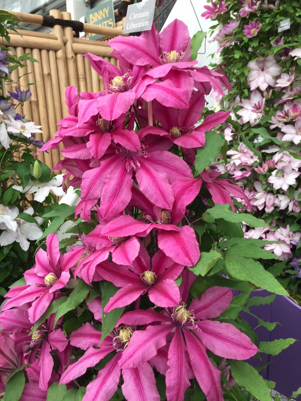 Clematis Liberation