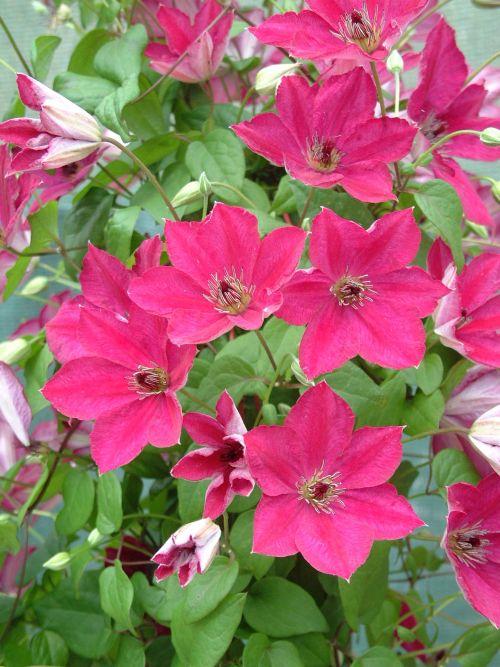 Clematis viticella John Howells Very free flowering