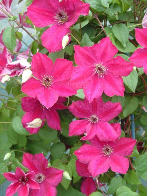 New ! Clematis John Howells Masses of flower