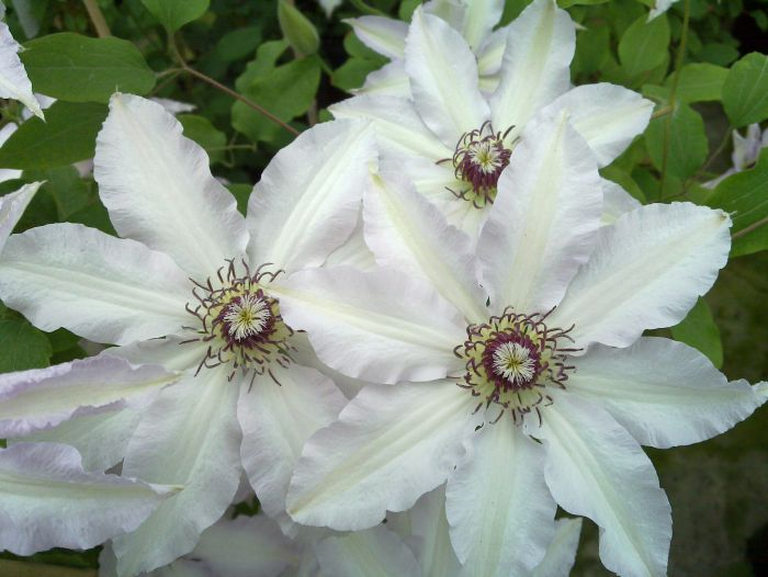 Clematis Clair de lune group shot