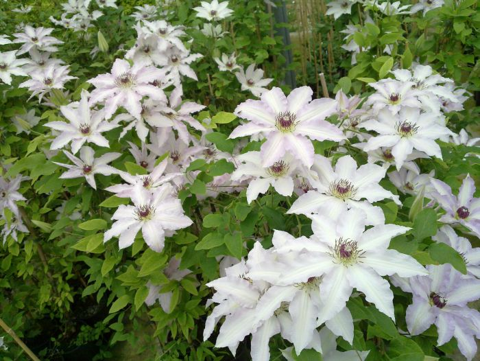 Clematis Clair de lune close mass shot