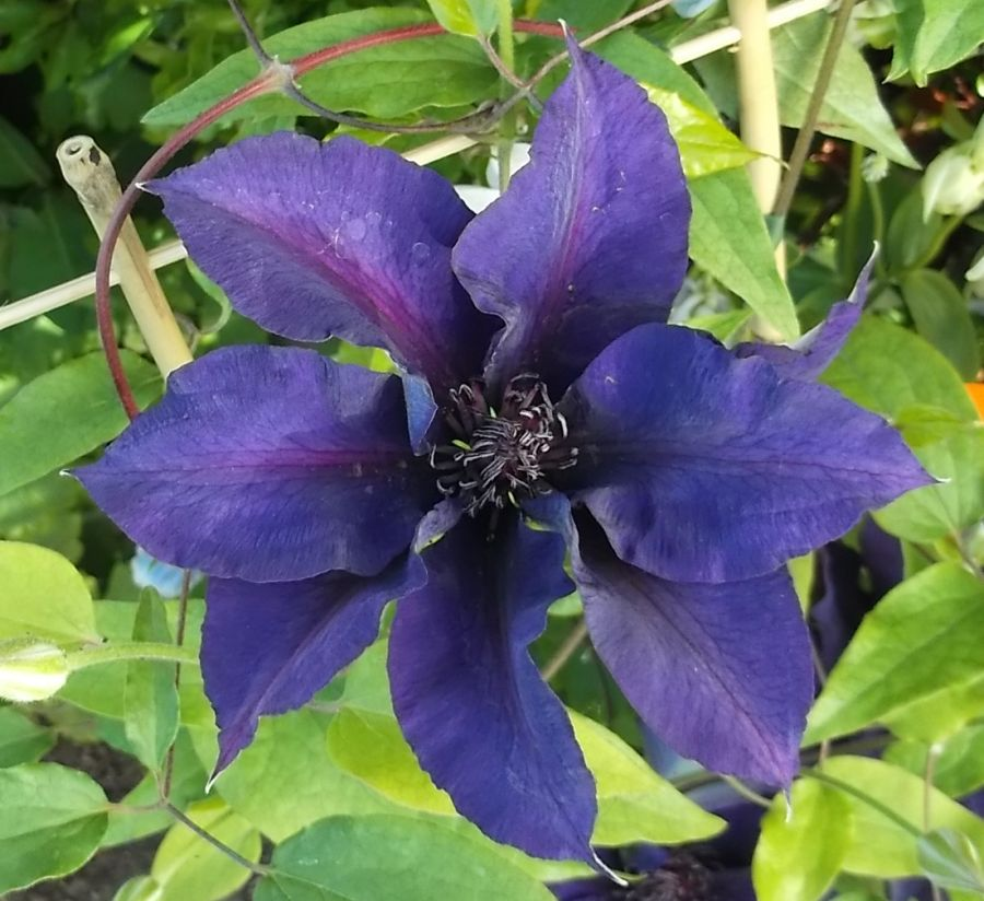 Clematis Suzy Mac deep purple blooms